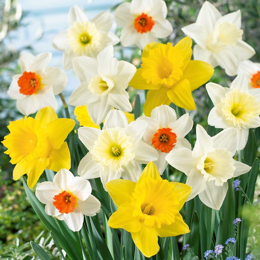 daffodil - photo #35