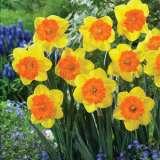 daffodil sunlover pkdafsun