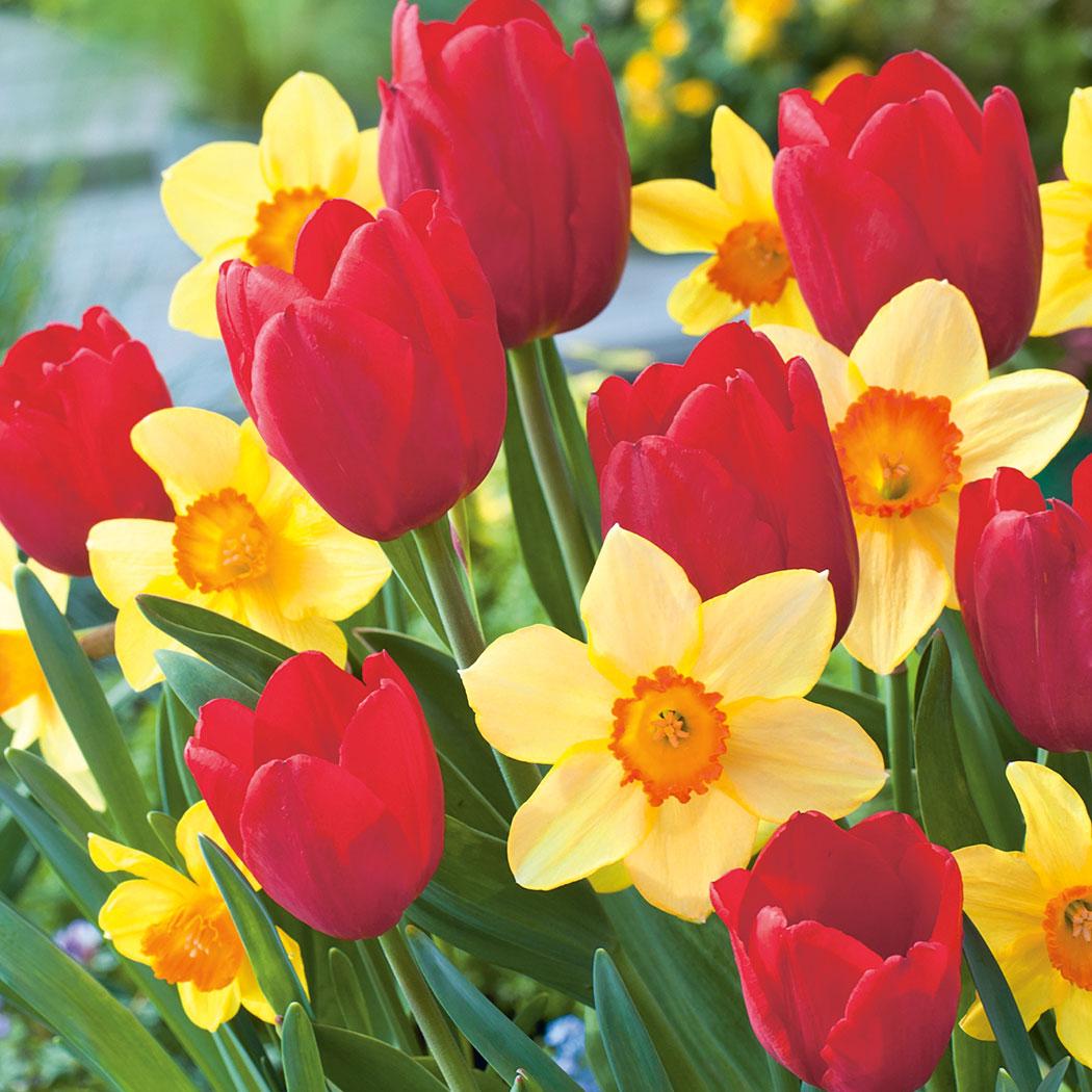 daffodil - photo #21