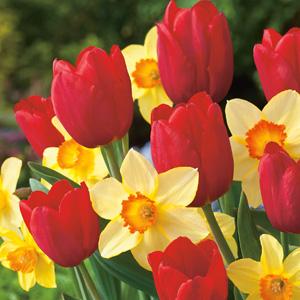 daffodil tulip blend coldatubl