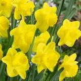 daffodil yellow trump pkdafyel