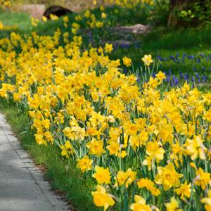 daffodil yellow trumpet pkdafytr 2019