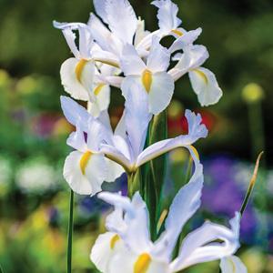 dutch iris casablanca pkdircas 2019