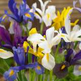 dutch iris mixed pkdirmxd