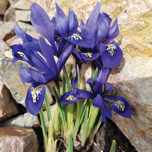 dwarf iris reticulata harmony pkirehar 2019