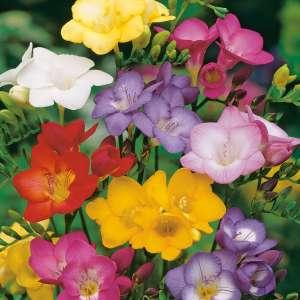 freesia autumn plants