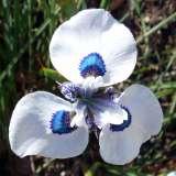 peacock iris pkpeairi