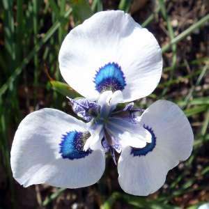 Spring flowering bulb Peacock Iris