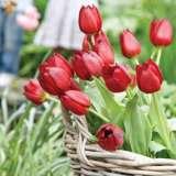 tulip apeldoorn pltulape 2019