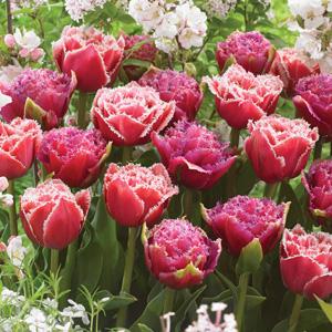 tulip brest mascotte blend pktulbmb
