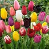 tulip mixed pktulmxd