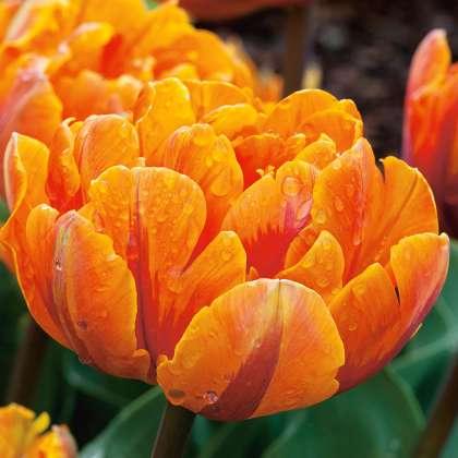 tulip orange princess pktulopr 1