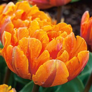 Tulip Orange Princess Pktulopr - Garden Express Australia
