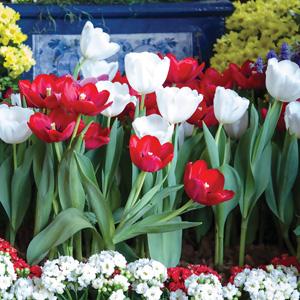Tulip Red & White Blend