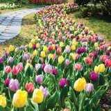 tulip triumph mixed pktultmx 2019