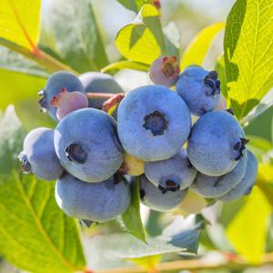 Blueberry Rahi