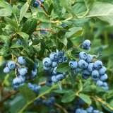 Blueberry Reka