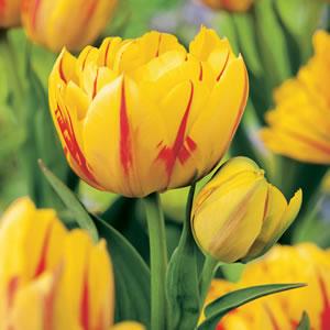 Tulip Monsella PKTULMON