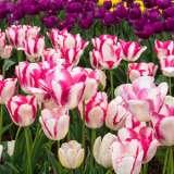 Tulip Playgirl