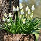 Grape Hyacinth Venus