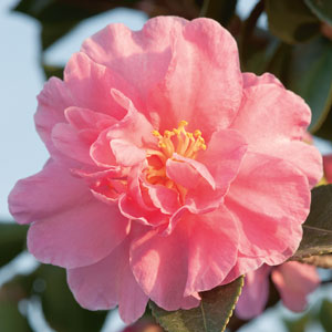 Camellia Showa Supreme