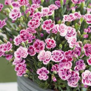 Carnation Kisses Pink