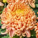 Pot Mum Chrysanthemum – Kena Copper