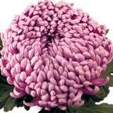 Pot Mum Chrysanthemum – Kena Pink