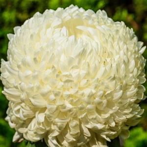 Pot Mum Chrysanthemum – Kena White