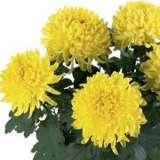 Pot Mum Chrysanthemum – Kena Yellow
