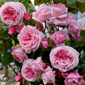 Climbing Rose Kiss Me Kate Rosckmk
