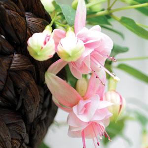 Fuchsia Peachy Blossom