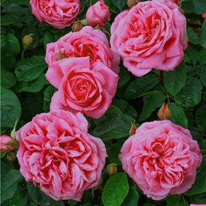 Rose Gertrude Jeckyll