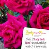 Rose Lady Endo (pbr)