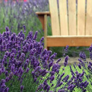 Lavender Avice Hill (pbr)