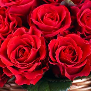 Rose Lili Marlene