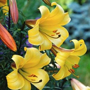 Regale Trumpet Lilium Golden Splendour