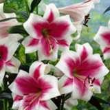 Lilium Triumphator Pkliltri