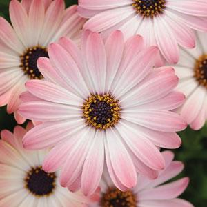 Osteospermum Serenity Pink Magic