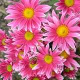 Pot Mum Chrysanthemum – Bebop Rose Bicolour