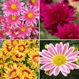 Pot Mum Chrysanthemum Collection
