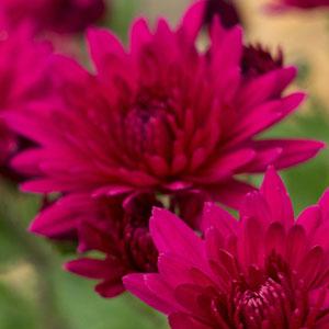 Pot Mum Chrysanthemum – Quadrille Purple