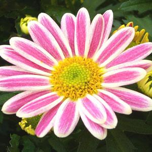 Pot Mum Chrysanthemum – Zumba Pink