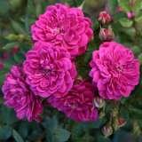 Rose Purple Rain (pbr)