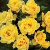 Rose Rise N Shine