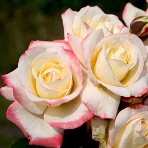Rose Athene