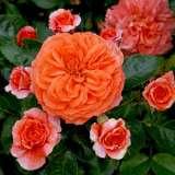 Rose Orangerie (pbr)