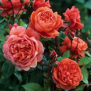 Rose Summer Song (pbr)