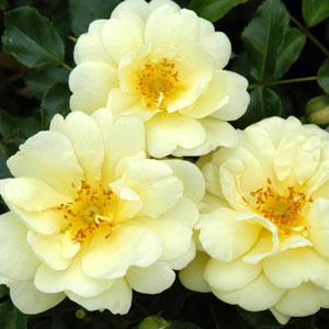 Rose Sunny Rose (pbr)
