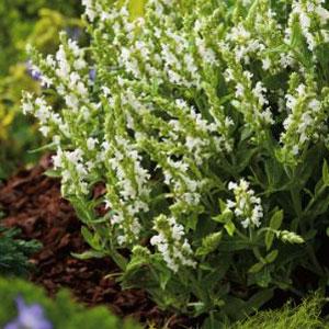 Salvia Sensation White